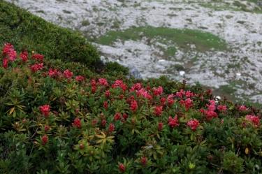 Rhododendron sur la Tour de Famelon