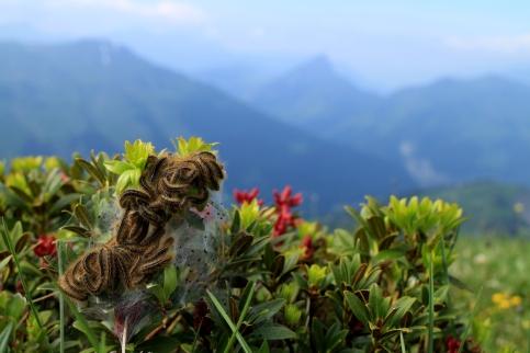 Chenilles et rhododendron