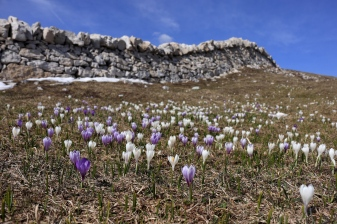 Crocus au Mont Tendre